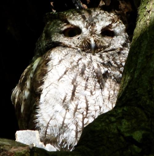 owl-in-hol