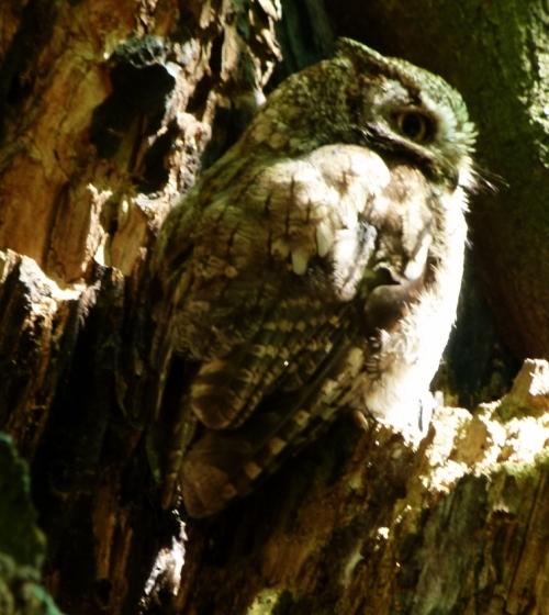 owl in sun