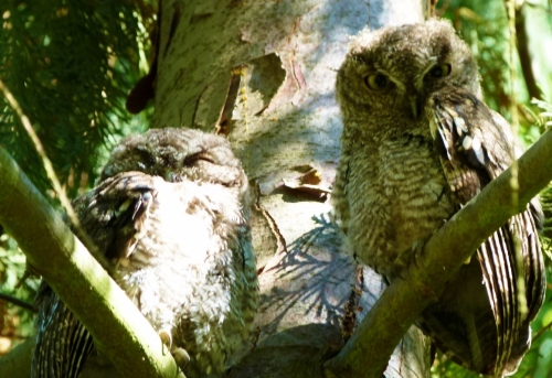 owl twins