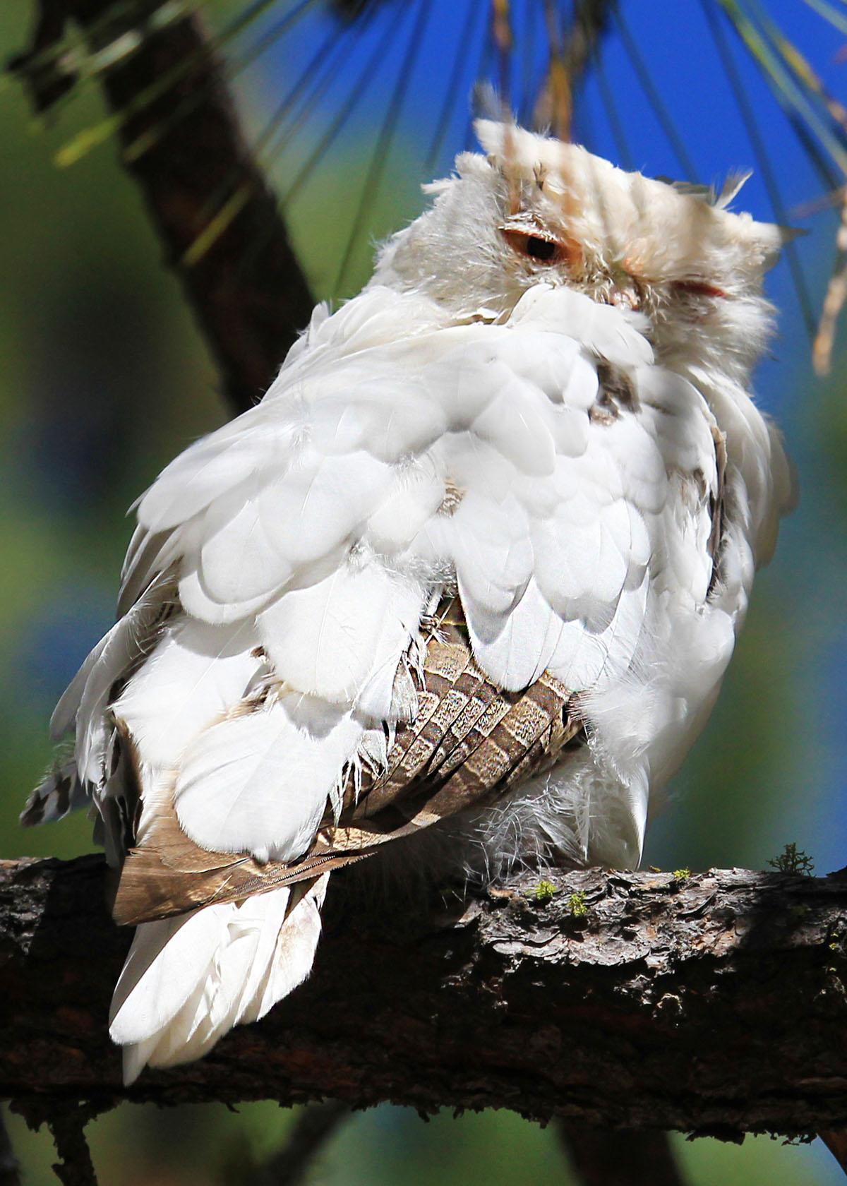 Albinism in the Great Gray Owl Strix nebulosa and Other