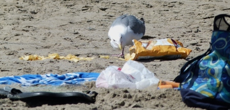 gull chips1