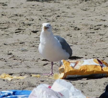 gull-chips3