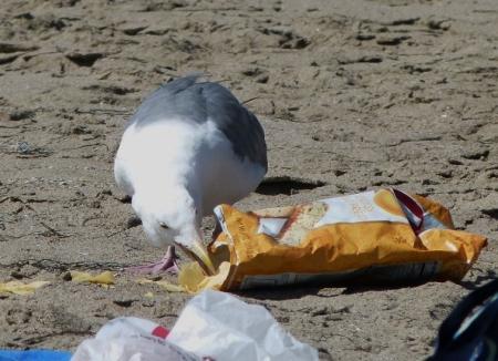 gull-chips4