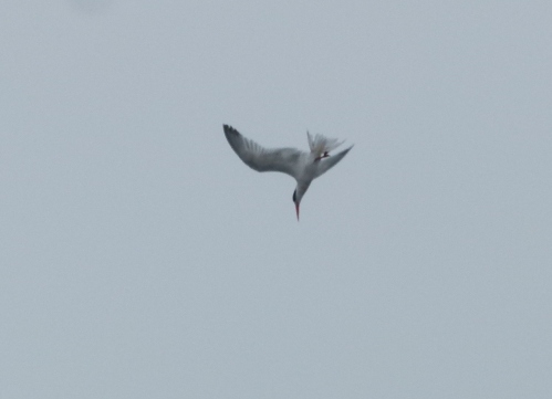tern dive