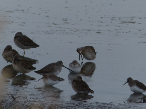 Dunlins_Dowitcher