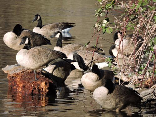 moregeese
