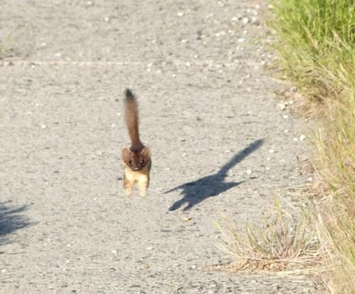 weasel leap