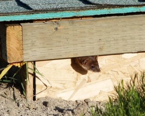 weasel lookout