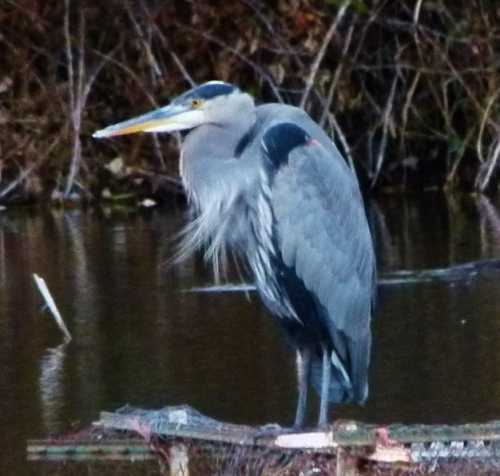GBH PLUMES (1280x960)