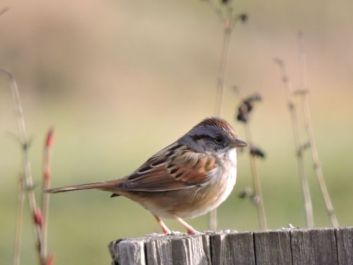 swampsparrow