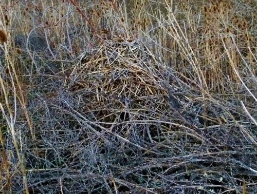 woodrat hows (1280x960)