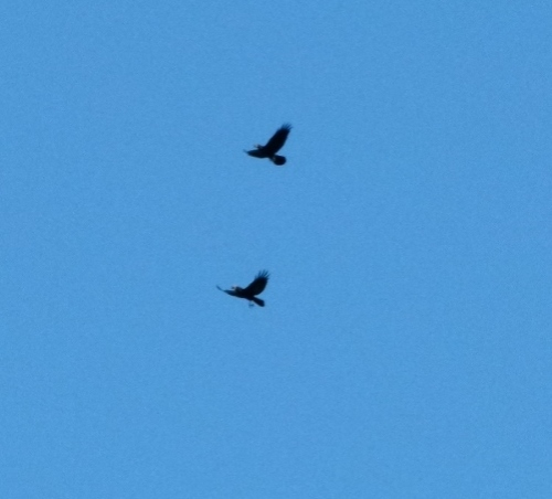 raven paird