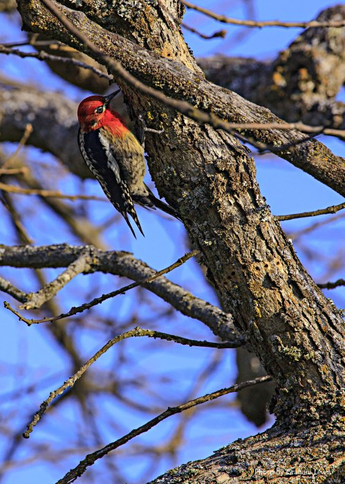 Red_Breasted_Sapsucker_028_lo