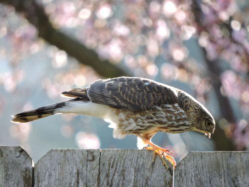 sharpshinnedhawk