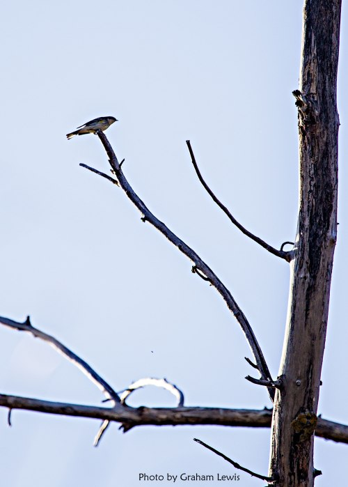 Yellow_Rumped_Warbler_044_lo
