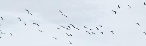 goose line