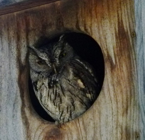 AM OWL