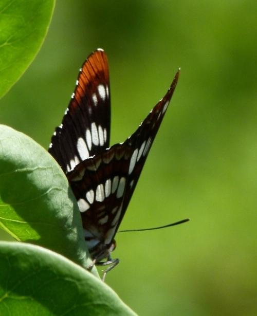 beauter-fly
