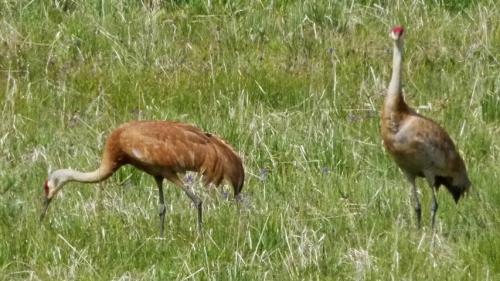 whitney cranes1