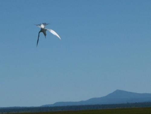 air-tern3
