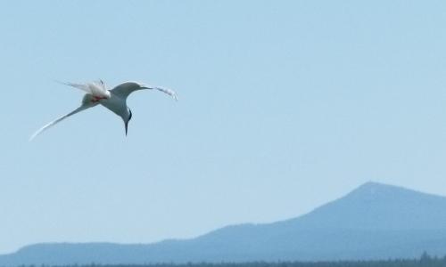 air-tern5 (2)
