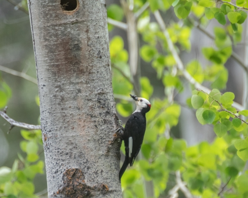 white headed woodpecker (1 of 1)