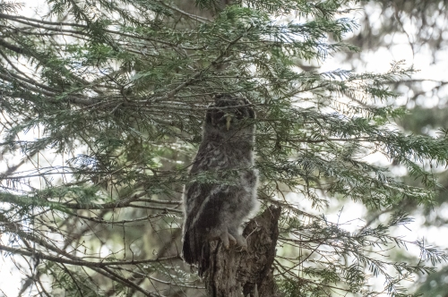 young owl 2 (1 of 1)