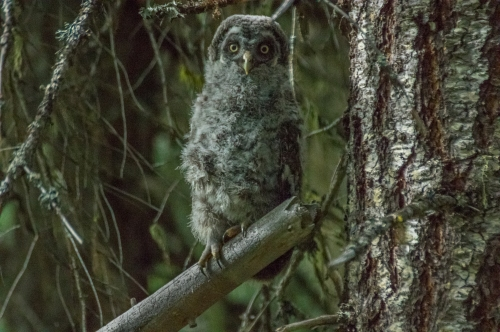 young owl  (2 of 2)