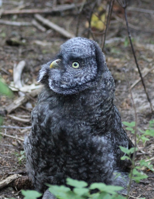 20. GGO owlet looking to sky 7 23 15 2360 IMG_0489 (994x1280)