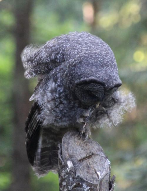 23. GGO owlet still with downy feathers 7 21 15 IMG_9983 (985x1280)