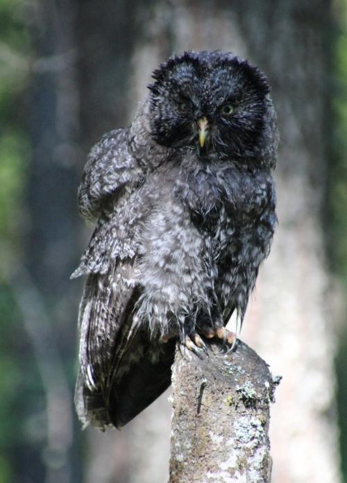 33. GGO owlet wet after the bath 3108 IMG_9737 (919x1280)