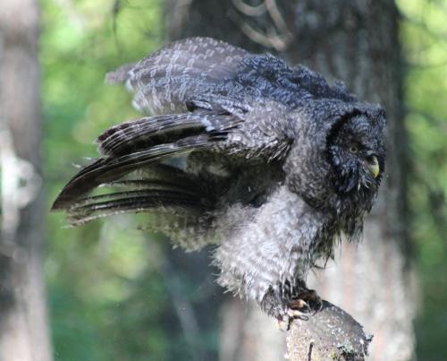 34. GGO owlet wet and fluffy 3392 IMG_9778 (1280x1034) (1280x1034)