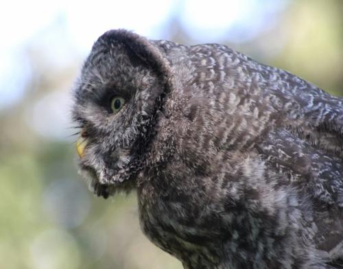 40. GGO owlet in anticipation 7 19 15 4015  IMG_9202 (1280x1006)