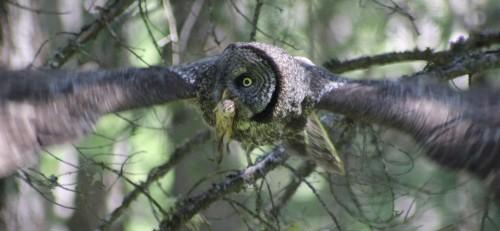 GGO mother flying prey face 5184 IMG_7625