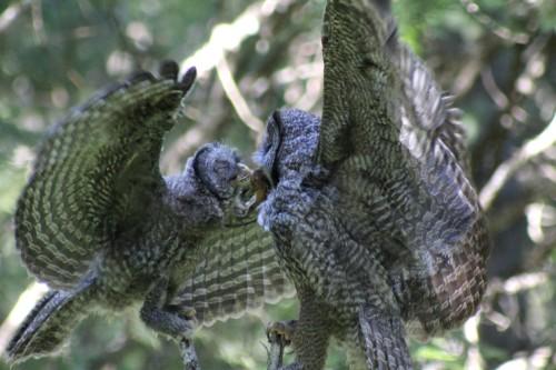 Mother to fledgling adj full IMG_7626