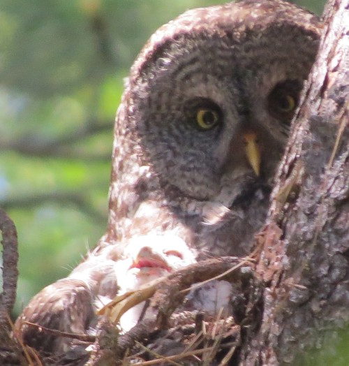 Great Gray Owl female with 1 of at least 2 nestlings, 6-29-2014