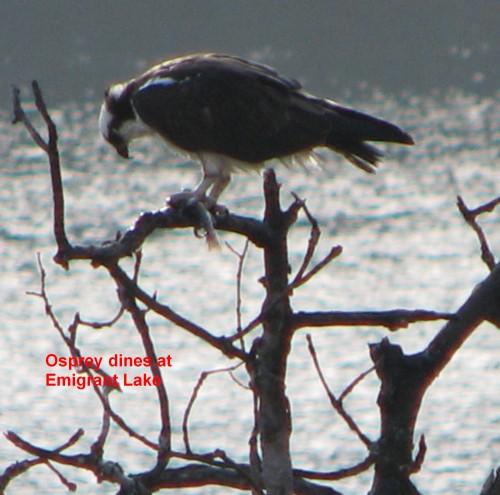 Osprey dines