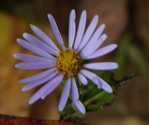 ASTER IN OCT
