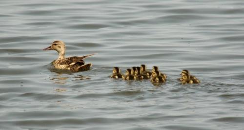 ducks in row--sr