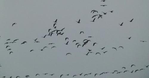 goose sky