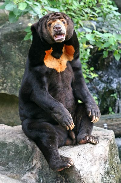 Sun-Bear-in-Rock
