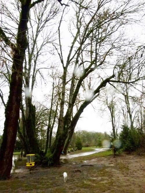 flood maple
