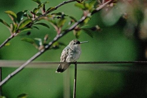 black chinned hummingbird 0668