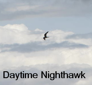 daytime nighthawk