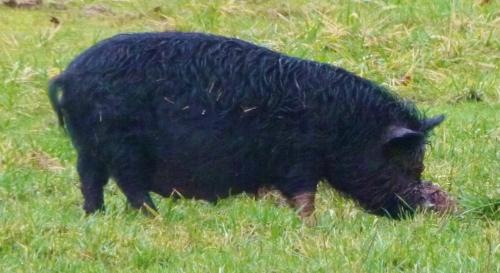 PIGG1