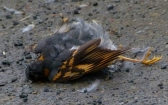 Thrush corpse, car victim