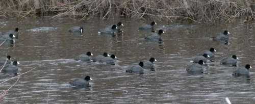 coots more