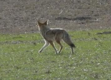 cyote (1280x960)