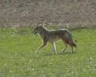 cyote2