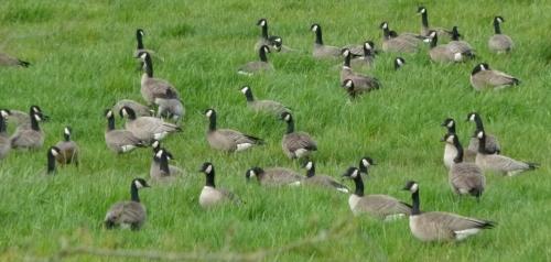 geese-b